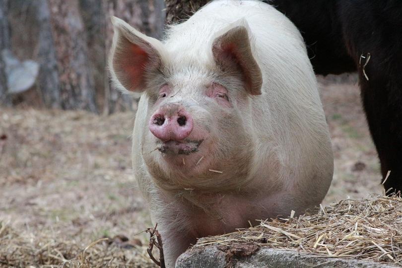 Африканска чума по свинете в голям комплекс край Видин -