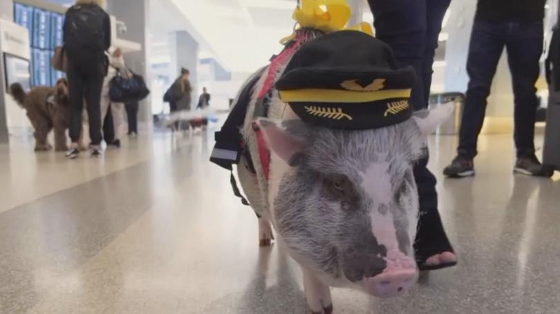 Снимка: Прасе помага на пътниците на летището в Сан Франциско