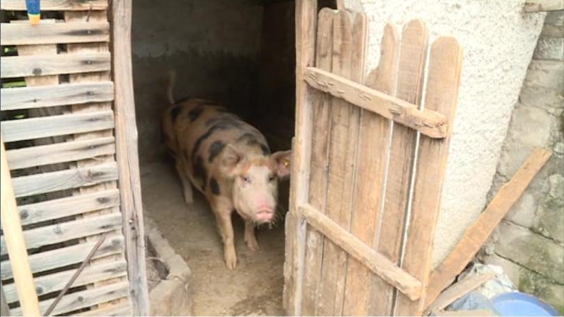 отново проверяват личните стопанства русенско домашни прасета