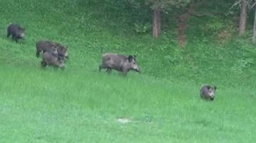 От събота стартира ловът на диви свине