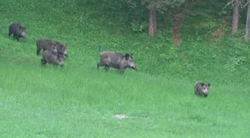 събота стартира ловът диви свине