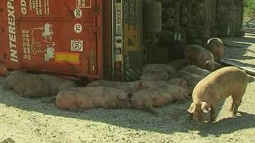 ТИР с прасета се пробърна в Кресненското дефиле