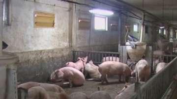 Свиневъди от Русе искат безопасен коридор за търговия и превоз на храни