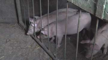 Евтаназират 17 000 прасета от свинекомплекса в Русенско