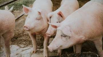 Започна евтаназията на 17 000 прасета в Русенско