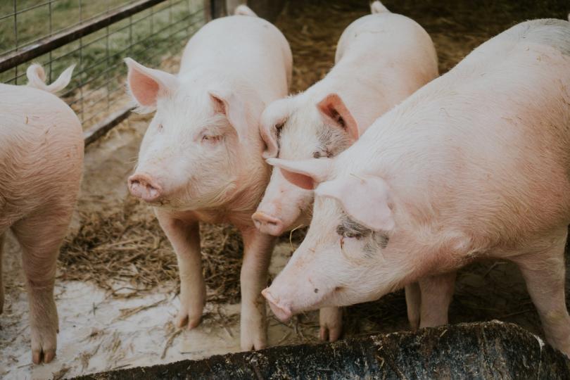 Продължава да е засилен контролът в района на индустриалната свинеферма