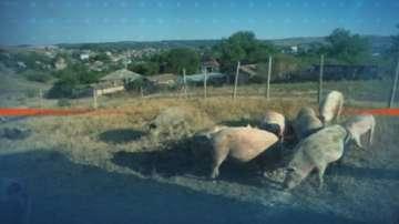 Експерти от БАБХ конфискуваха агне вместо прасе