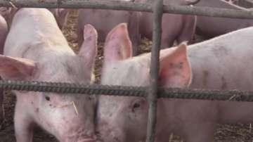 Стопаните в Тръстеник заколиха прасетата си