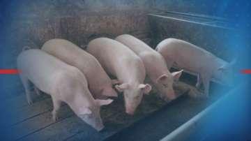 Нов случай на африканска чума в промишлен свинекомплекс у нас