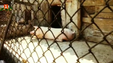 Събитията на 2019: Африканска чума по свинете