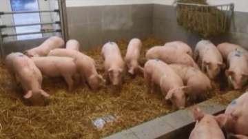 Започва евтаназирането на животните от свинекомплекса в село Брестак