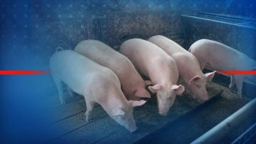 Във Видин беше получен сигнал за болно прасе от африканска чума в частен имот