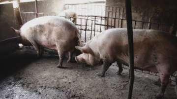 Вече са изплатени обезщетенията на стопаните на прасета в 4 общини в Русенско