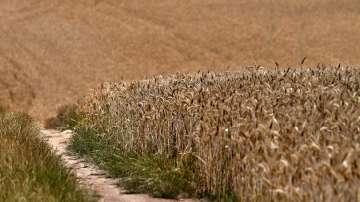 По-ниски добиви пшеница отчитат в Силистренско
