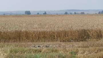 Над 90% от пшеницата в Добричко вече е прибрана