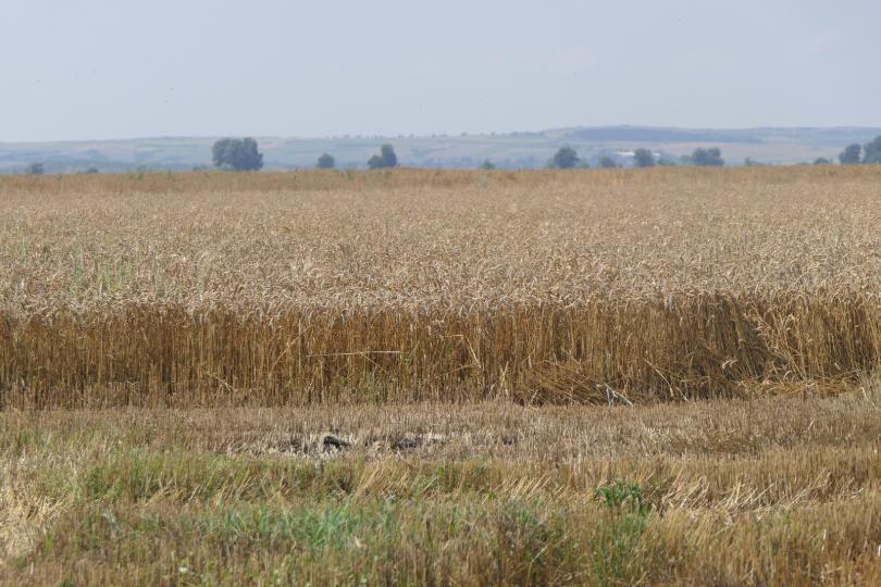 Приключва жътвата на пшеницата в Добричко. Над 90% от реколтата