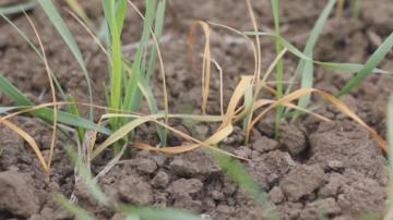 Масови поражения от житни мухи и кафява ръжда върху пшеницата в Добруджа