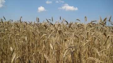 Очаква се 30% по-слаба реколта от жито заради есенната суша