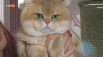 Български котарак стана световен шампион на изложение за родословни котки