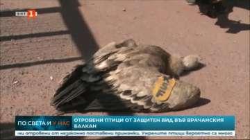 Отровиха защитени белоглави лешояди във Врачанския Балкан