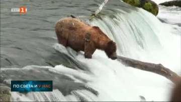 С какво се хранят мечките през лятото в Аляска
