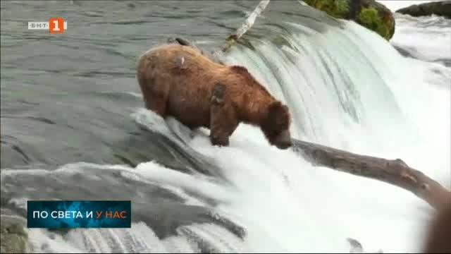Снимка: С какво се хранят мечките през лятото в Аляска