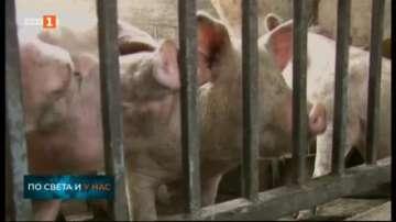 Африканската чума може да заличи 20% от индустриалното свиневъдство у нас