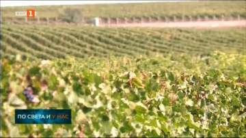 Очаквания за добра реколта от грозде в Пловдивско