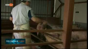 Нови огнища на африканска чума по свинете близо до Русе