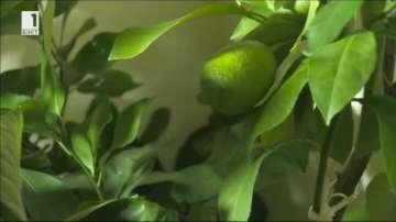 Лимонова комедия: Крадци задигнаха дръвче, обраха лимоните и после го върнаха
