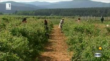 Производители настояват за контрол върху насажденията от роза и лавандула