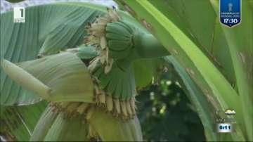 Ентусиаст отглежда банани в Хасково