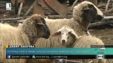 Глутница кучета убива селскостопански животни в с.Масларево