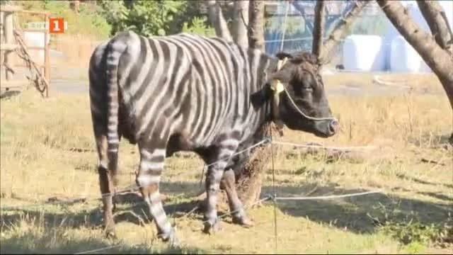 Снимка: В Япония маскират кравите като зебри, за да не ги тормозят мухи