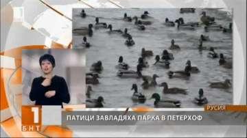 Патици са новата забележителност в парка край Санкт Петербург