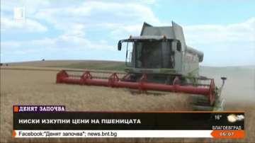 Ниски изкупни цени на пшеницата