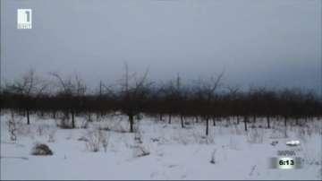 До 90% измръзвания при черешовите насаждения в Кюстендилска област