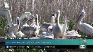 В резерват Сребърна вече гнездят и розови пеликани