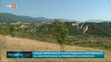 Собственици на лозя притеснени за прибирането на реколтата заради АЧС
