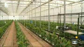 Нови технологии намаляват цената на българските оранжерийни краставици