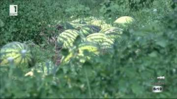 Огромни загуби за производителите на дини в Любимец