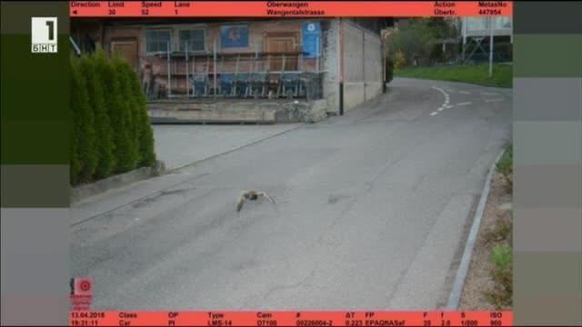 Полицията в швейцарския град Кьониц засече неочакван нарушител. Патица беше