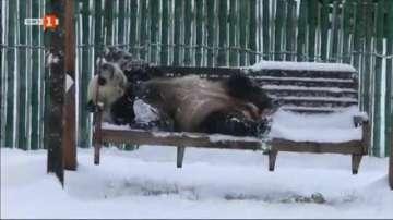 Панди се радват на първия сняг в Китай (ВИДЕО)