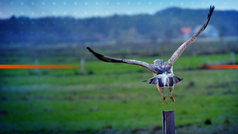 Шест диви птици бяха пуснати в естествената им среда край
