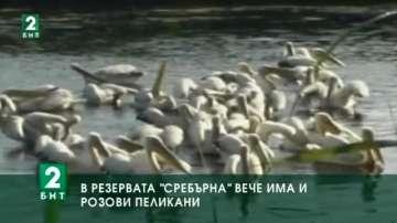 """В резервата """"Сребърна"""" вече има и розови пеликани"""