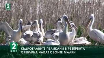 Къдроглавите пеликани в резервата Сребърна чакат своите малки