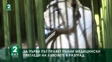 За първи път правят пълни медицински прегледи на лъвовете от зоопарка в Разград