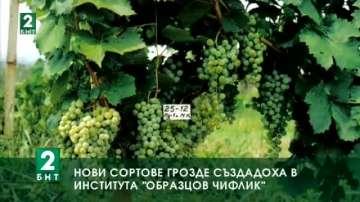 """Нови сортове грозде създадоха в  """"Образцов чифлик"""""""