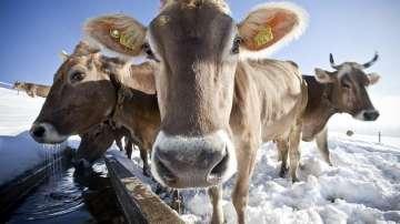 Швейцарците отхвърлиха инициативата, популярна като крави с рога
