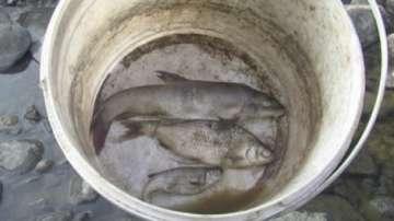 БАБХ изтегли от пазара над 250 кг пушена риба от Румъния, заразена с Листерия